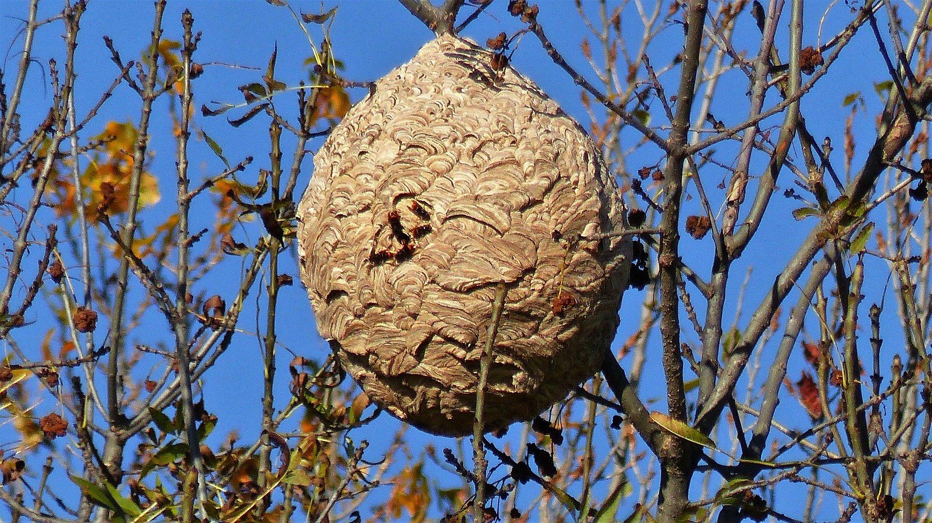 destruction de frelons asiatiques 33 Gironde