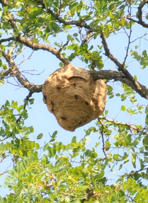 destruction nid frelons asiatiques Pujols 33350