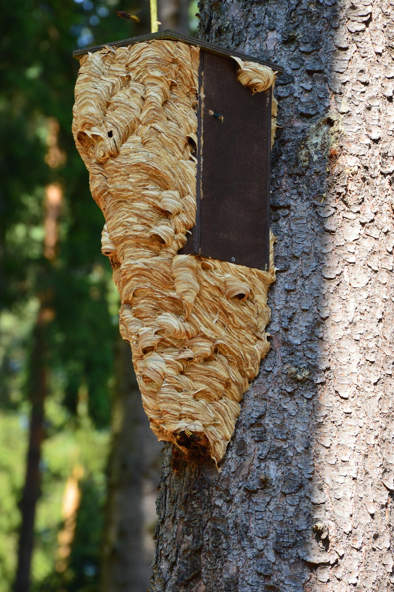 eradication nid de frelons asiatique Pujols 33350